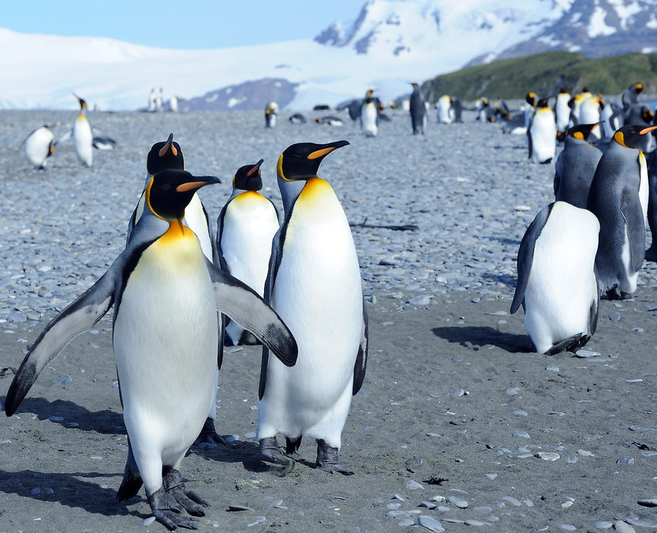 King penguins (Aptenodytes patagonicus) on the beach near their nesting colony. Salisbury Plain, Bay of Isles, South Georgia. 19Feb16