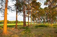 Low sunlight on pine trees in West Sussex, England, UK.