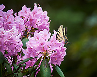Tiger Swallowtail Butterfly feeding on Rhododendron flowers. Image taken with a Nikon Df camera and 70-300 mm lens (ISO 560, 300 mm, f/5.6, 1/1250 sec).