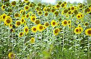 sun flowers chateau de castelnau entre deux mers bordeaux france