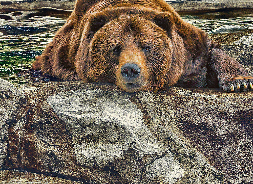 Grizzly bear exhausted and just chillin in the shade at the Saint Louis Zoo.