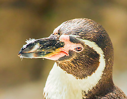 Although all penguin species are native to the Southern Hemisphere, they are not found only in cold climates, such as Antarctica. In fact, only a few species of penguin live so far south. Several species are found in the temperate zone, and one species, the Galápagos Penguin, lives near the equator.