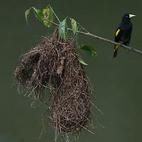 A Yellow-rumped Cacique (Cacicus cela)  perches near its nest in the Peruvian Amazon Jungle.