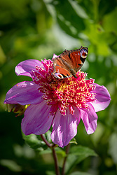 Peacock butterfly on Dahlia 'Dad's Favourite'