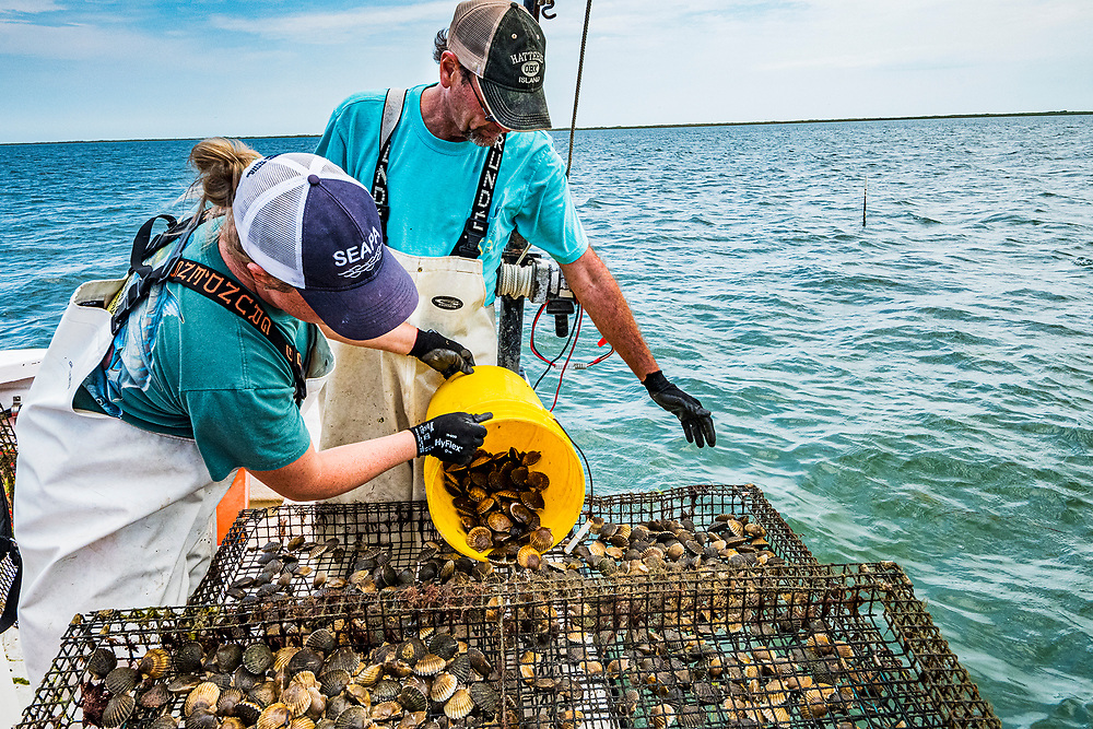 Scientists with the Virginia Institute of Marine Science (VIMS) keep densities of scallops high, but in the ocean, hoping for successful reproduction and the reintroduction of scallops to the area after being absent since 1933.