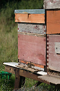 Bees entering bee hives in summer orchard