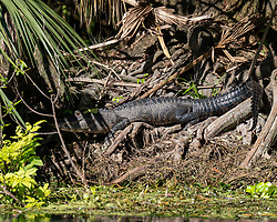 American Alligator sunning on the bank of the Silver River in Ocala Florida.