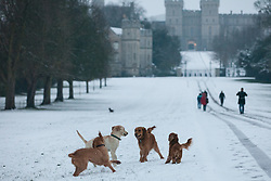 Windsor, UK. 1st February, 2019. Dogs enjoy an overnight snowfall in Windsor Great Park. More snow is expected to fall during the morning in Berkshire and scores of schools will remain closed for the day.