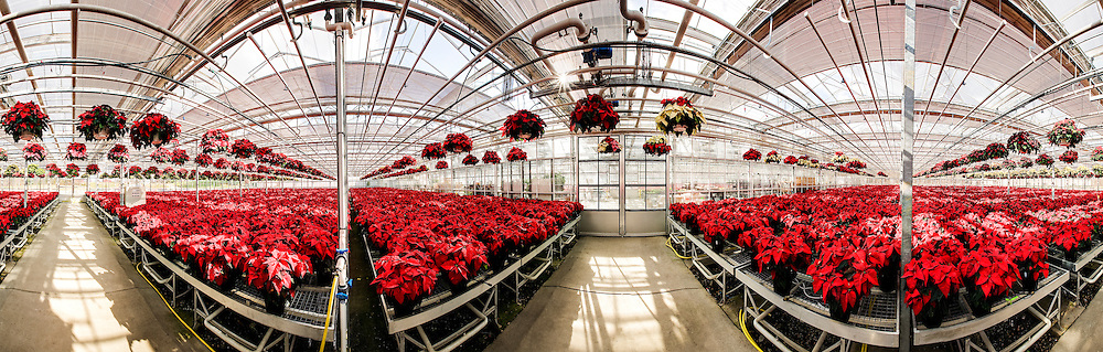 poinsettiaa in a greenhouse