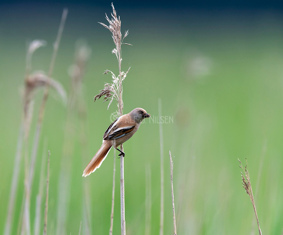 Bearded reedling (Panurus biarmicus, female) ready to feed the chicka. Photo from Vejlerne, northern Denmark in June.