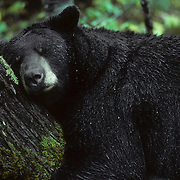 A large male black bear uses a cedar tree for a headrest while napping in the pouring rain. Minnesota
