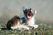 Alaska. Arctic National Wildlife Refuge, ANWR, Arctic, Arctic fox (Alopex lagopus) yawning.