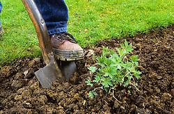 Dividing a perennial (hardy geranium) using a spade<br /> Lifting