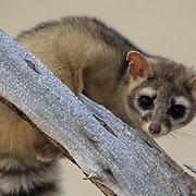 Ringtail, (Bassariscus astutus) Portrait of adult. Captive Animal.