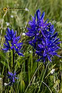Blue camas widflowers near Marias Pass, montana, USA