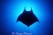 silhouette of Pacific manta ray, Mobula birostris (formerly Manta birostris ), San Benedicto, Revillagigedos Islands ( Socorro Islands ), Mexico, Revillagigedo Archipelago National Park, a UNESCO World Heritage Site ( Eastern Pacific Ocean )