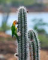 Yellow-shouldered Parrot (Amazona barbadensis). Kralendijk, Bonaire. Image taken with a Nikon D3s camera and 70-300 mm VR lens.