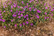 Showy Four O' Clock wildflowers in bloom near Virgin, Utah, USA