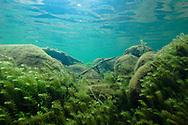 Hydrilla<br /> <br /> Bryce Gibson/Engbretson Underwater Photography