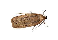 32.036 (0672)<br /> Parsnip Moth - Depressaria radiella