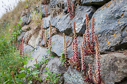 Navelwort, Wall pennywort, growing wild in a wall on The Lizard, Cornwall. Umbilicus rupestris