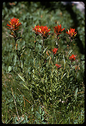 Indian Paintbrush wildflowers in the morning, Young Lakes, Yosemite National Park. View shot on Kodachrome II, Nikon Ftn camera, 125th f5.6.5 105mm f/2.5 Nikkor Lens, 1 August 1973