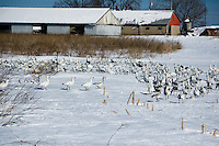 Snow geese taking a break from their migratoty flight over Salem County, NJ in early February, 2010.