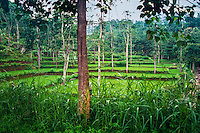 Java, East Java, Bromo Tengger. Rice plantation beneath Mount Bromo.