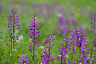 Loose-Flowered Orchid, Green-winged Meadow Orchid, Jersey orchid, Orchis laxiflora, Bela Reka, Eastern Rhodope mountains, Bulgaria