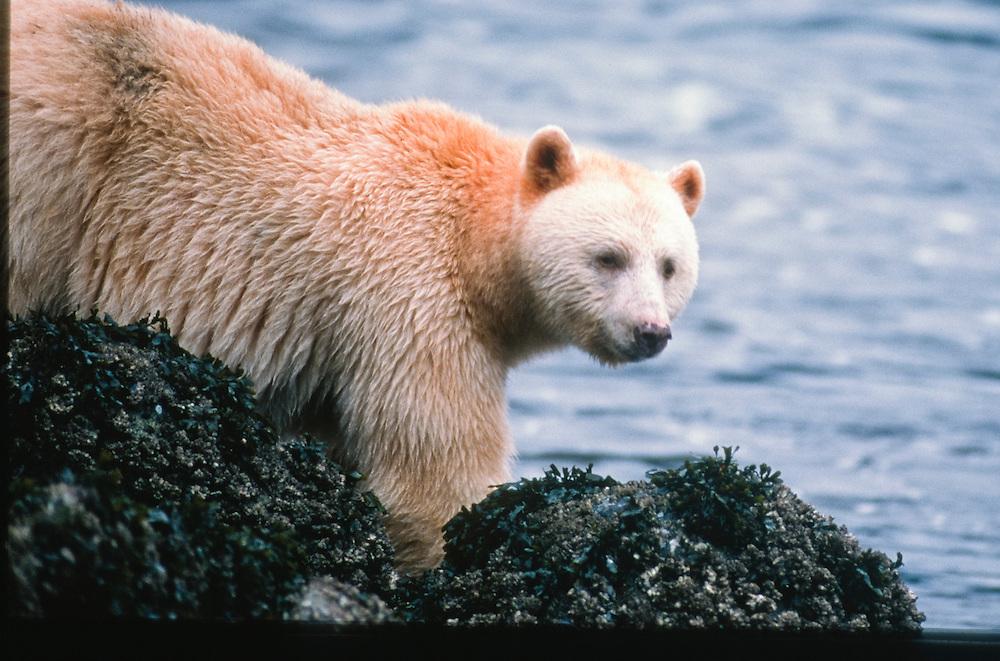 British Columbia. Princess Royal Island. Spirit bear, (kermode bear, subspecies of black bear)with chum salmon hanging from its mouth.