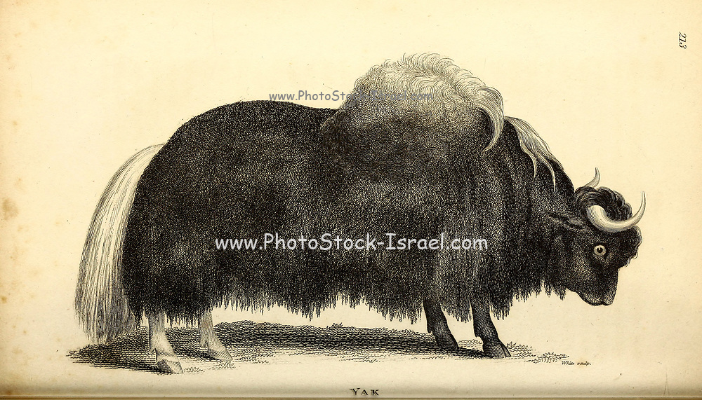 Yak from General zoology, or, Systematic natural history Vol II Part 2 Mammalia, by Shaw, George, 1751-1813; Stephens, James Francis, 1792-1853; Heath, Charles, 1785-1848, engraver; Griffith, Mrs., engraver; Chappelow. Copperplate Printed in London in 1801 by G. Kearsley