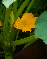 Zucchini Flower. Image taken with a Nikon 1 V3 camera and 70-300 mm VR lens.