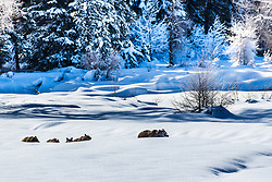 Trudging through deep snow to their winter den Grizzly 399 and her four cubs still have quite a chore ahead of them.<br /> <br /> Contact for custom print options or inquiries about stock usage  - dh@theholepicture.com