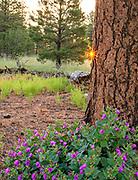Colorado Four O'clock Flowers, Ponderosa Pine and Rising Sun, Coconino National Forest, Coconino County, Arizona