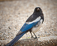 Black-billed Magpie. Rocky Mountain National Park. Image taken with a Nikon D2xs camera and 300 mm f/2.8 lens and TC-E 1.4 teleconverter (ISO 110, 420 mm, f/4, 1/250 sec).