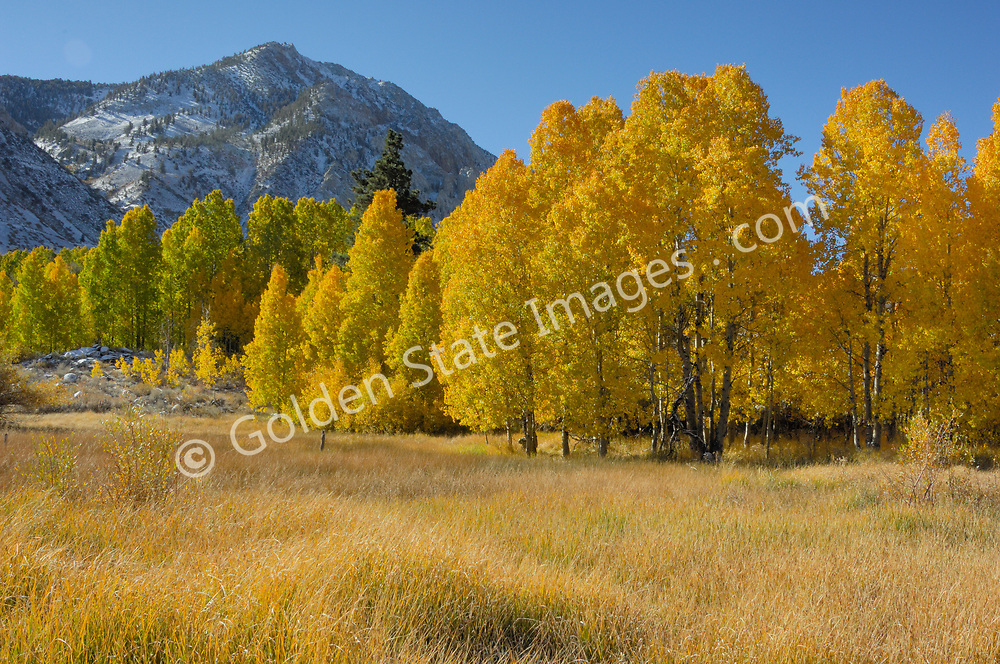 Quaking Aspen Tree Leaves in the Eastern High Sierras displaying fall colors. <br /> <br /> Member of the Willow family, Aspens are deciduous. Their leaves are rounded and shine bright green until turning with brilliant hues of yellow orange and red in the fall.    <br /> <br /> They grow in colonies or groups that share the same root structure. They spread by means of root suckers that extend out from the colony and then form new sprouts.    <br /> <br /> Mature Aspens stand forty to seventy feet in height with a smooth light colored to white trunk up to about two feet in diameter.    <br /> <br /> Range: Most widely distributed tree in North America.    <br /> <br /> Species: Populus tremuloides