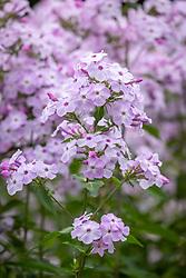 Phlox - from Pip - 'Konigen de Nacht or David's Lavender'. Check id