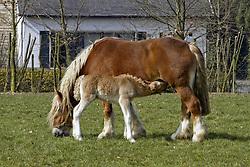 Zogend veulen<br /> Stoeterij Diepenstijn - Steenhuffel 2003<br /> © Dirk Caremans