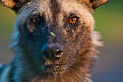 Portrait of an African Wild Dog, Zimbabwe.