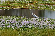 Great Egret (Egretta alba) walking amongst water hyacinth, Pantanal, Brazil