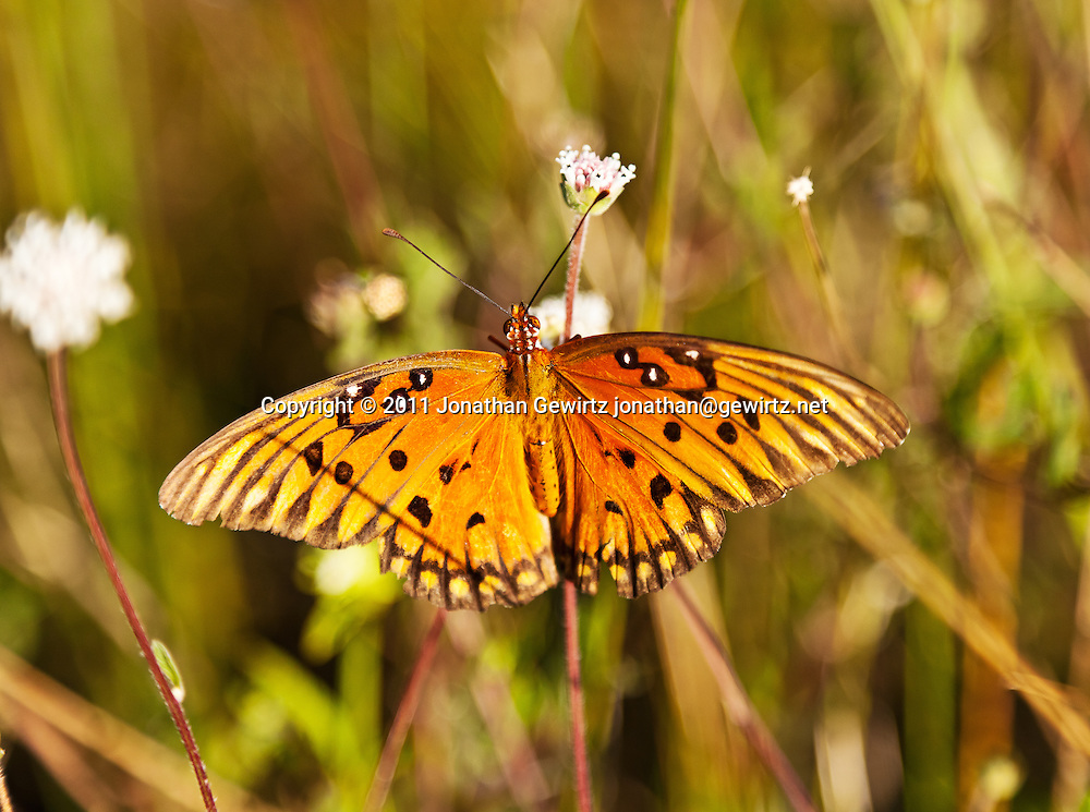 A Gulf Fritillary (Dione vanillae) butterfly feeding in the Florida Everglades. WATERMARKS WILL NOT APPEAR ON PRINTS OR LICENSED IMAGES.