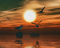 Seagulls playing at sunset on the beach. What could be more atmospheric and bring the sea into your home than this coastal scene. This painting easily brings the atmosphere of the sea to your home. This coastal scene can be printed in different sizes and on different materials. Both on canvas, wood, metal or framed so it certainly fits into your interior. –<br /> -<br /> BUY THIS PRINT AT<br /> <br /> FINE ART AMERICA / PIXELS<br /> ENGLISH<br /> https://janke.pixels.com/featured/gulls-at-sunset-3-jan-keteleer.html<br /> <br /> <br /> WADM / OH MY PRINTS<br /> DUTCH / FRENCH / GERMAN<br /> https://www.werkaandemuur.nl/nl/shopwerk/Meeuwen-bij-zonsondergang-3/778259/132?mediumId=15&size=70x55<br /> –<br /> -