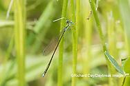 06330-00106 Spaghnum Sprite (Nehalennia gracilis) female in fen Dent Co. MO