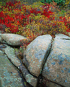 Lichen-covered granite boulders with brilliant autumn colors of black huckleberry, Gaylussacia baccata, shoreline between Great Head and Otter Point, Acadia National Park, Maine.