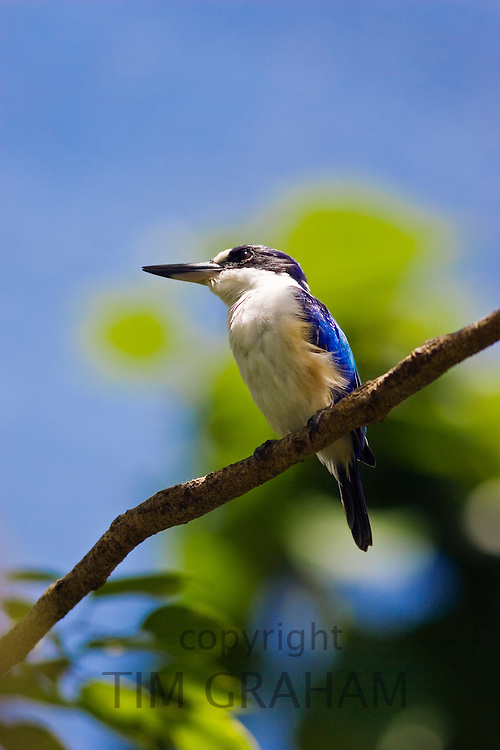 Forest Kingfisher perched on a branch in North Queensland, Australia