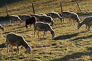 Sheep grazing near Alos, Ariege, Pyrenees, France..
