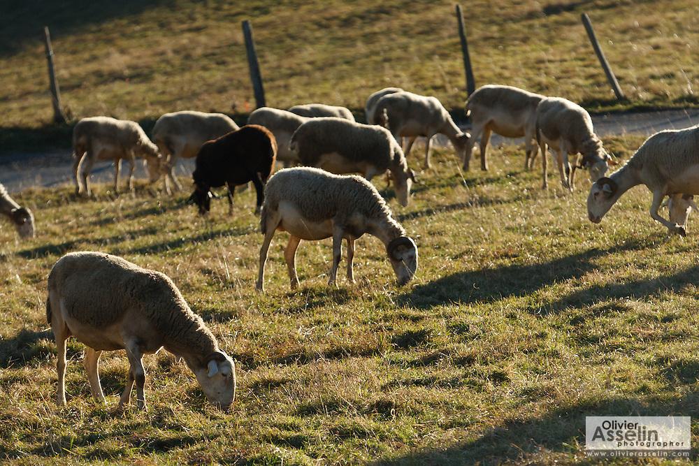 Sheep grazing near Alos, Ariege, Pyrenees, France..