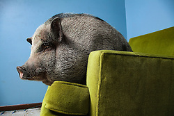 """Daisy Mae, a miniature Vietnamese potbellied pig pictured lounging in her home in West St. Paul, Minnesota. From Vincent J. Musi's story, """"Taming the Wild,"""" in the March 2011 National Geographic Magazine.<br /> <br /> BIO: Vincent J. Musi has been making photographs for as long as he can remember. His pictures and stories are often featured in National Geographic Magazine where his work has appeared on the cover 11 times. Vince likes to collaborate with animals, everything from rats and birds to cats and dogs. His best-selling book The Year of the Dogs features the story of a farting bulldog and other interesting canines.<br /> <br /> WEBSITE: vincentjmusi.com<br /> INSTAGRAM: @vincentjmusi"""