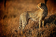 From atop a an extinct termite mound this cheetah spies its next hunt.