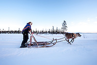 Reindeer sledding across frozen River Torne
